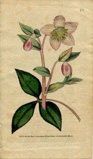 1789年 Curtis Botanical Magazine No.72 キンポウゲ科 クリスマスローズ HELLEBORUS LIVIDUS