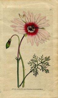 1789年 Curtis Botanical Magazine No.73 フウロソウ科 モンソニア MONSONIA SPECIOSA