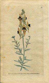 1789年 Curtis Botanical Magazine No.74 オオバコ科 リナリア属 ANTIRRHINUM TRISTE