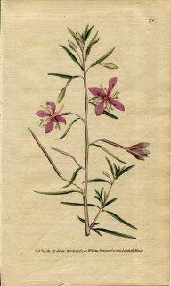 1789年 Curtis Botanical Magazine No.76 アカバナ科 エピロビウム EPILOBIUM ANGUSTISSIMUM