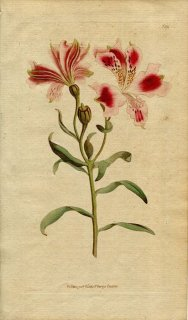 1790年 Curtis Botanical Magazine No.139 ユリズイセン科 アルストロメリア属 ALSTROEMERIA PELEGRINA