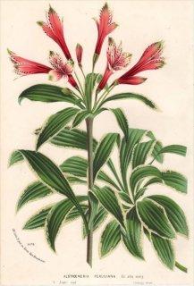 1875年 Van Houtte ヨーロッパの植物 ユリズイセン科 アルストロメリア属 ALSTROEMERIA PERUVIANA