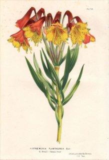 1850年 Van Houtte ヨーロッパの植物 ユリズイセン科 アルストロメリア属 ALSTROEMERIA PLANTAGINEA