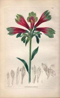 1854年 Sweet Ornamental Flower Garden Pl.183 ユリズイセン科 アルストロメリア属 ALSTROEMERIA PSITTACINA