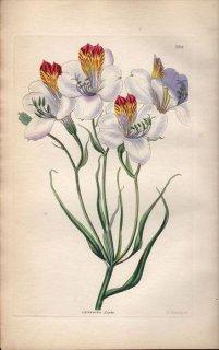 1854年 Sweet Ornamental Flower Garden Pl.184 ユリズイセン科 アルストロメリア属 ALSTROEMERIA LIGTU