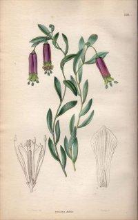 1854年 Sweet Ornamental Flower Garden Pl.191 ユリズイセン科 ボマレア属 COLLANIA DULCIS