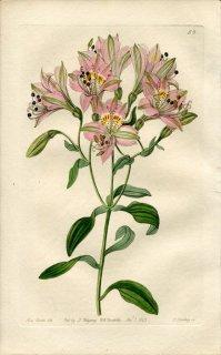 1843年 Edwards's Botanical Register No.58 ユリズイセン科 アルストロメリア属 ALSTROEMERIA lineatiflora