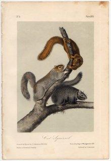 1849年 Audubon Quadrupeds of North America Pl.XVII リス科 リス属 ハイイロリス Cat squirrel