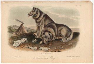 1854年 Audubon Quadrupeds of North America Pl.CXIII イヌ科 エスキモードッグ Esquimaux Dog