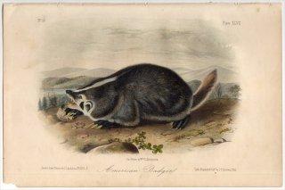 1854年 Audubon Quadrupeds of North America Pl.XLVII イタチ科 アメリカアナグマ属 アメリカアナグマ American Badger