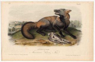 1849年 Audubon Quadrupeds of North America Pl.VI イヌ科 キツネ属 American Cross Fox