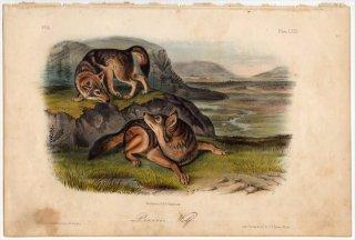 1854年 Audubon Quadrupeds of North America Pl.LXXI イヌ科 イヌ属 コヨーテ Prairie Wolf