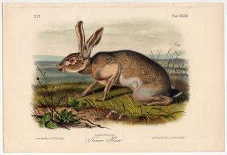 1854年 Audubon Quadrupeds of North America Pl.CXXXIII ウサギ科 ノウサギ属 オグロジャックウサギ Texian Hare