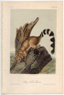 1854年 Audubon Quadrupeds of North America Pl.XCVIII アライグマ科 カコミスル属 カコミスル Ring Tailed Bassaris
