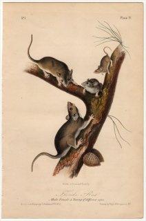 1849年 Audubon Quadrupeds of North America Pl.IV キヌゲネズミ科 モリネズミ属 Florida Rat