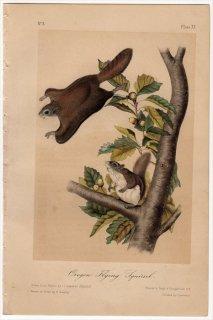 1849年 Audubon Quadrupeds of North America Pl.XV リス科 アメリカモモンガ属 オオアメリカモモンガ Oregon Flying Squirrel