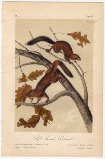 1849年 Audubon Quadrupeds of North America Pl.XIX リス科 リス属 Soft Haired Squirrel
