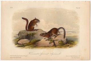 1849年 Audubon Quadrupeds of North America Pl.XX リス科 ウロキテルス属 タウンゼンドジリス Townsend's Ground Squirrel