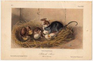 1849年 Audubon Quadrupeds of North America Pl.XXIII ネズミ科 クマネズミ属 クマネズミ Black Rat