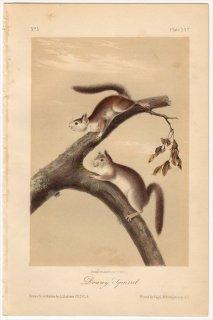 1849年 Audubon Quadrupeds of North America Pl.XXV リス科 リス属 アメリカアカリス Downy Squirrel