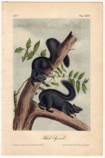 1851年 Audubon Quadrupeds of North America Pl.XXXIV リス科 リス属 トウブキツネリス Black Squirrel