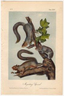 1851年 Audubon Quadrupeds of North America Pl.XXXV リス科 リス属 Migratory Squirrel