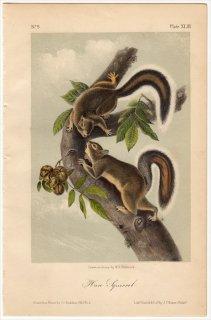 1851年 Audubon Quadrupeds of North America Pl.XLIII リス科 リス属 Hare Squirrel