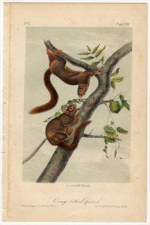 1851年 Audubon Quadrupeds of North America Pl.LVIII リス科 リス属 Orange bellied Squirrel
