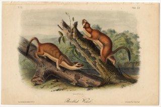 1851年 Audubon Quadrupeds of North America Pl.LX イタチ科 イタチ属 オナガオコジョ Bridled Weasel