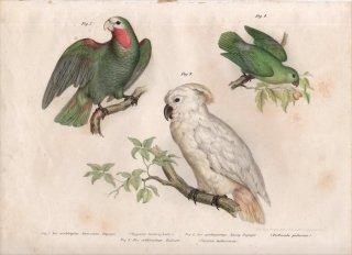 1864年 Fitzinger Bilder Atlas Fig.7 インコ科 サクラボウシインコ Fig.8 インコ科 テリルリハインコ Fig.9 オウム科 オオバタン