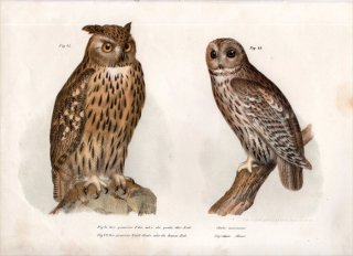 1864年 Fitzinger Bilder Atlas Fig.41 フクロウ科 ワシミミズク モリフクロウ