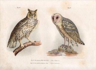 1864年 Fitzinger Bilder Atlas Fig.43 フクロウ科 トラフズク メンフクロウ科 メンフクロウ