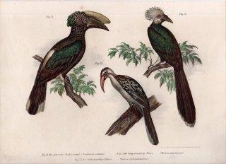 1864年 Fitzinger Bilder Atlas Fig.73 サイチョウ科 ムジサイチョウの仲間 Toccus macrourus