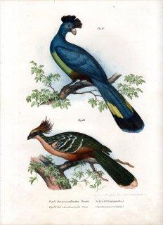 1864年 Fitzinger Bilder Atlas Fig.87 エボシドリ科 カンムリエボシドリ ツメバケイ科 ツメバケイ