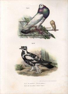 1864年 Fitzinger Bilder Atlas Fig.211 ハト科 カワラバト属 ポーター Columba gutturosa