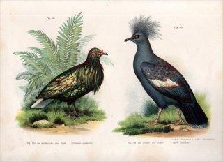 1864年 Fitzinger Bilder Atlas Fig.215 ハト科 ミノバト カンムリバト