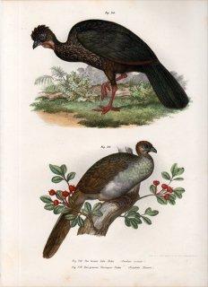 1864年 Fitzinger Bilder Atlas Fig.218 ホウカンチョウ科 シャクケイ属 カンムリシャクケイ