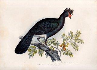 1864年 Fitzinger Bilder Atlas Fig.220 ホウカンチョウ科 メスグロホウカンチョウ Crax Alector