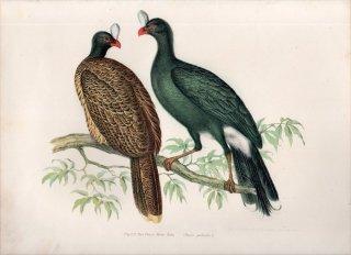 1864年 Fitzinger Bilder Atlas Fig.221 ホウカンチョウ科 カブトホウカンチョウ Pauxi galeata
