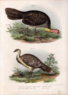 1864年 Fitzinger Bilder Atlas Fig.222 ツカツクリ科 ヤブツカツクリ Tallegallus Lathami