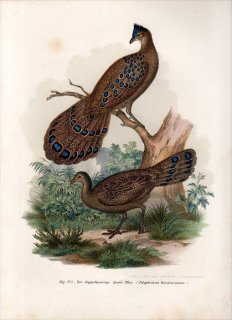 1864年 Fitzinger Bilder Atlas Fig.225 キジ科 コクジャク属 コクジャク Polyplectron bicalcaratum