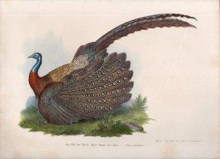 1864年 Fitzinger Bilder Atlas Fig.226 キジ科 セイラン属 セイラン Argus giganteus