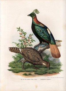1864年 Fitzinger Bilder Atlas Fig.229 キジ科 ニジキジ Lophophorus impejanus