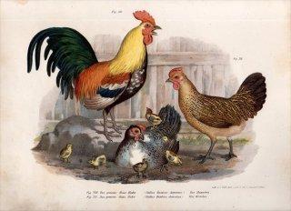 1864年 Fitzinger Bilder Atlas Fig.230 キジ科 ヤケイ属 ニワトリ Gallus Bankioa domestica
