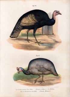 1864年 Fitzinger Bilder Atlas Fig.235 ホロホロチョウ科 ホロホロチョウ Numida Meleagris
