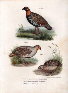 1864年 Fitzinger Bilder Atlas Fig.236 キジ科 シャコ属 ムナグロシャコ Francolinus vulgaris