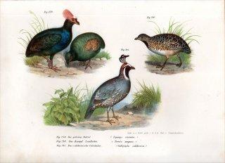 1864年 Fitzinger Bilder Atlas Fig.241 ナンベイウズラ科 ウロコウズラ属 カンムリウズラ