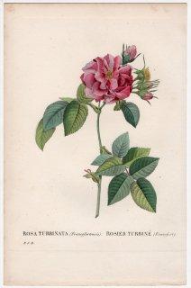 1828年 Redoute Les Roses バラ図譜 バラ科 バラ属 ROSA TURBINATA