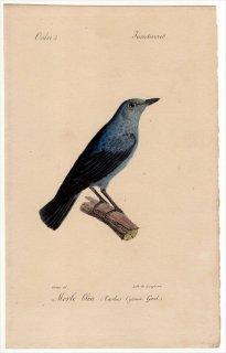 1820年 Temminck 鳥類学マニュアル ヒタキ科 イソヒヨドリ属 イソヒヨドリ Turdus Cyanus