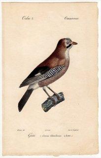 1820年 Temminck 鳥類学マニュアル カラス科 カケス属 カケス Corvus Glandarius